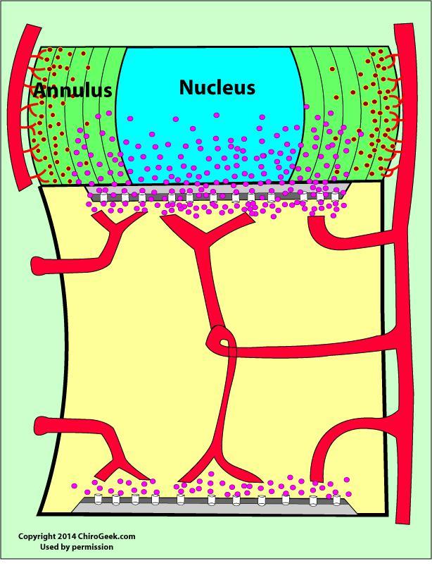 vascularisation du disque intervertébral