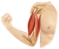 muscle biceps tendon epicondylite